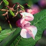 Bach flower 'Impatiens' is excellent for the moon in Aries