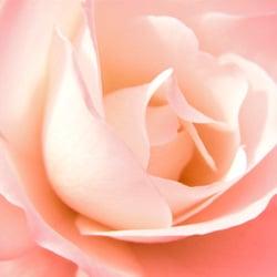 rose250